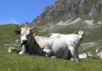 Fassone Rind aus dem Piemont