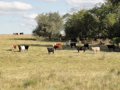 Uruguayisches Rindfleisch